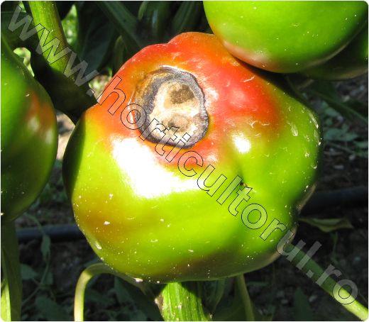 Carenta-de-calciu-la-Ardei-Blossom-End-Rot-of-Pepper_1.jpg