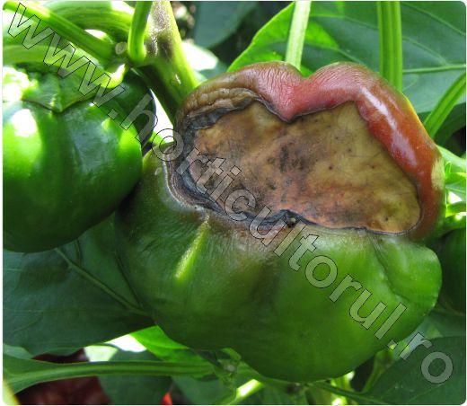 Carenta de calciu la Ardei-Blossom End Rot of Pepper_2