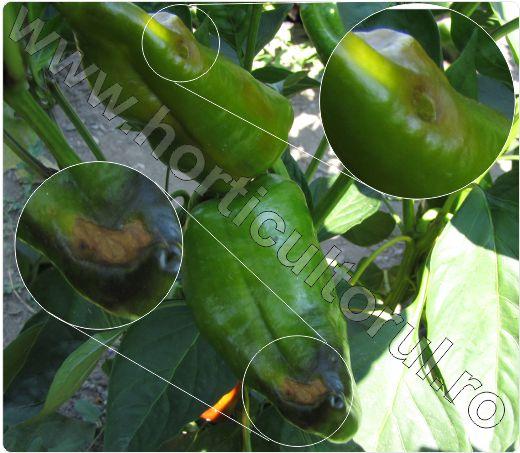Carenta-de-calciu-la-Ardei-Blossom-End-Rot-of-Pepper_8.jpg