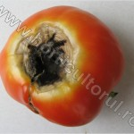 Carenta de calciu la Tomate_Blossom-End Rot of Tomato_1
