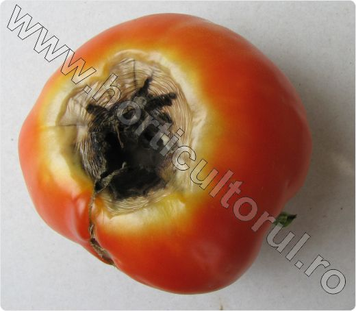 Carenta de calciu la Tomate_Blossom-End Rot of Tomato_1