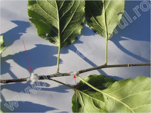 Paduchele lanos al marului_eriosoma lanigerum_4
