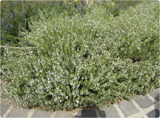 Cultivarea -cultura-cimbrului_Satureja montana