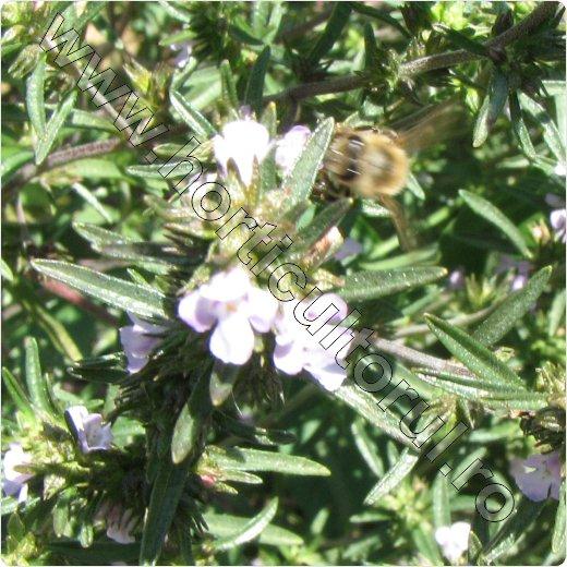 Cultivarea -cultura-cimbrului_cimbru_floare_albina