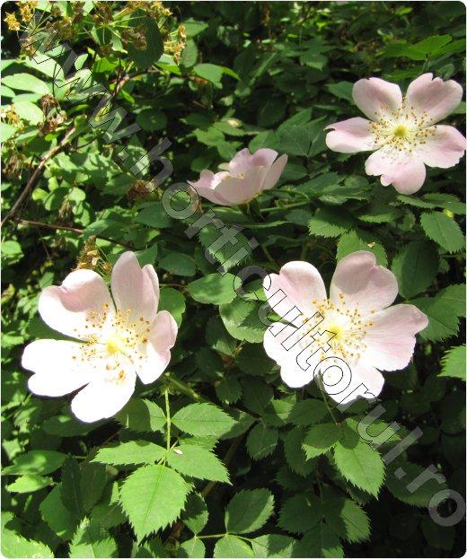 Macesul_Rosa Canina_dog rose_flori-floare_maces