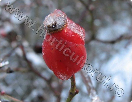 Macesul_Rosa Canina_dog rose_fructe_flori-maces_2