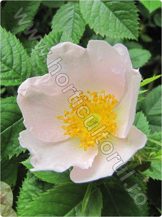 Macesul_Rosa Canina_dog rose_fructe_flori-maces_3