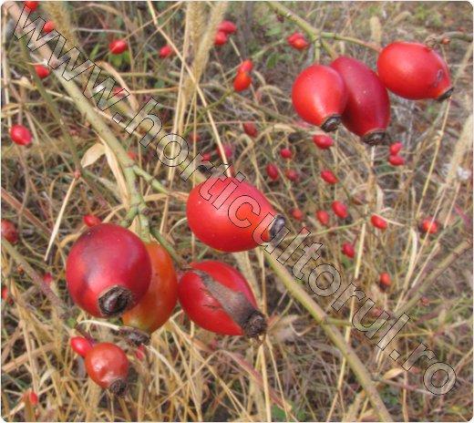 Macesul_Rosa Canina_dog rose_fruit_maceasa_macese-5