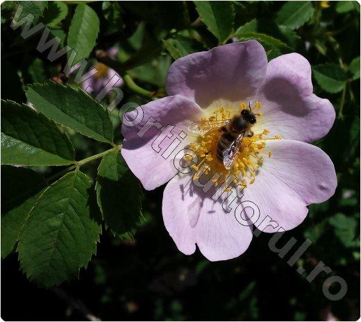 Macesul_albina-planta melifera