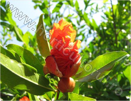 Rodia -Punica granatum_Pomegranate_arbust_pom_inflorire_2