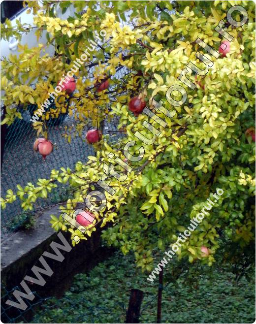 Rodia -Punica granatum_fructe