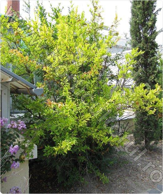 Rodia arbust_pom_-Punica granatum_Pomegranate_arbust_pom.jpg