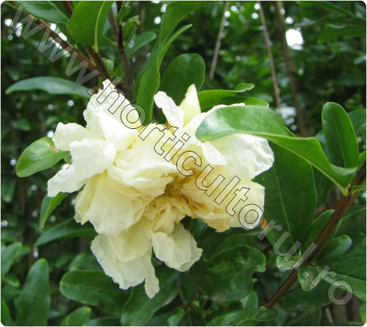 Rodia floare alba-Punica granatum_Pomegranate_arbust_pom