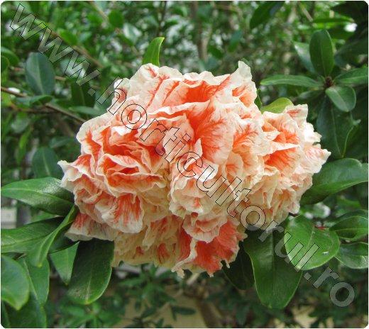 Rodia floare rosie cu bordura alba- Cultivare-Punica granatu