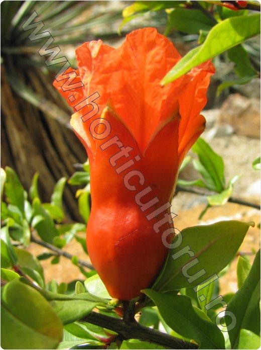 Rodia inflorire-Punica granatum_Pomegranate_arbust_pom