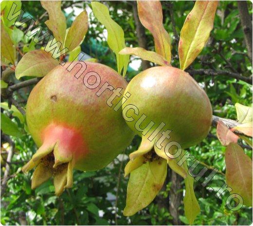 Rodia inmultirea -Punica granatum_Pomegranate_arbust_pom