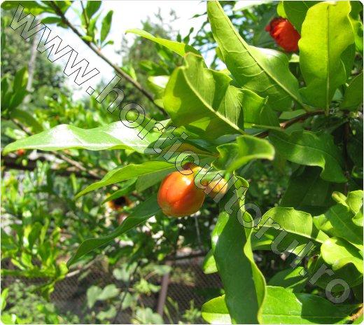 Rodia unde se cultiva-Europa-Romania-Punica granatum_Pomegra