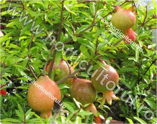 Rodia -Punica granatum var. nana