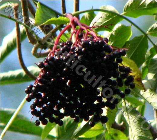 Soc comun_negru_fructe_flori_Elderberry_4