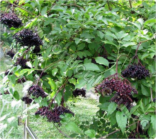Soc comun_negru_fructe_flori_Elderberry_5