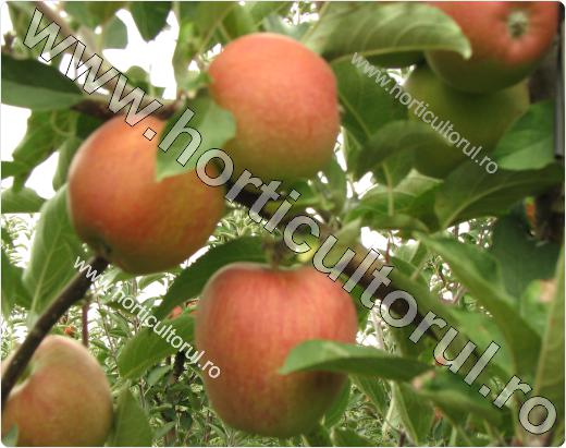 "Fig. 9   Soiul de mar ""Braeburn"""