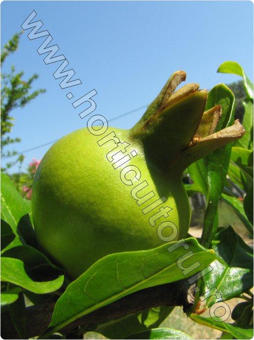 rodie fruct