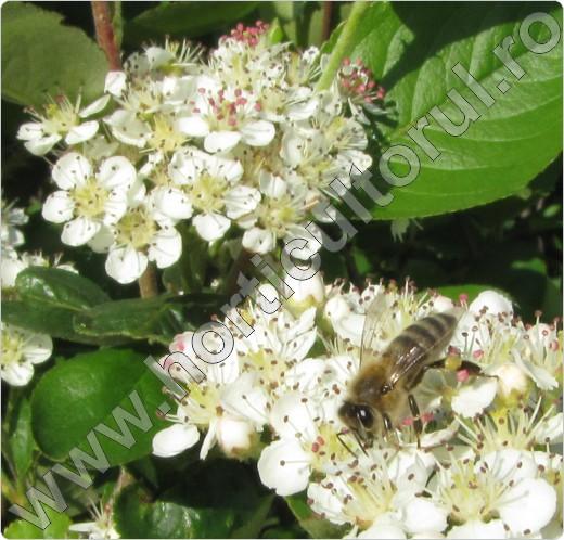 Aronia melanocarpa-albina