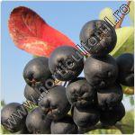 Aronia melanocarpa-ingrijire