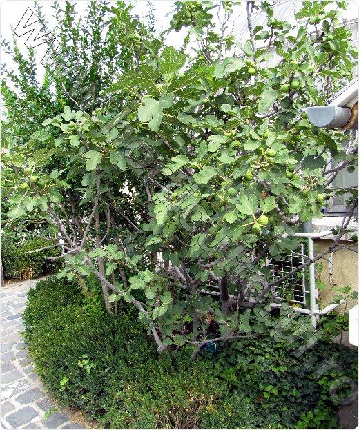 Smochinul-arbust_arbustoid_ingrijire-inmultire-iarna-cultiva