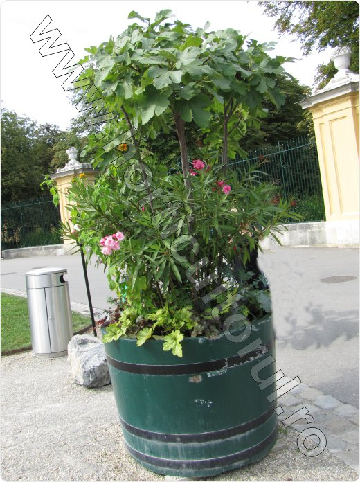 Smochinul-cultivare_ornamental_container