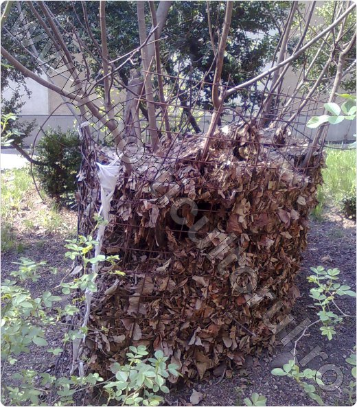 Smochinul-ingrijire-inmultire-iarna-cultivare_10