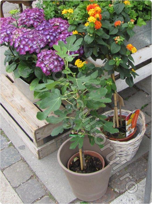 Smochinul-ingrijire-inmultire-iarna-cultivare_6