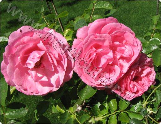 Trandafirul de Damasc_inmultire_recoltare petale_Rosa × dama