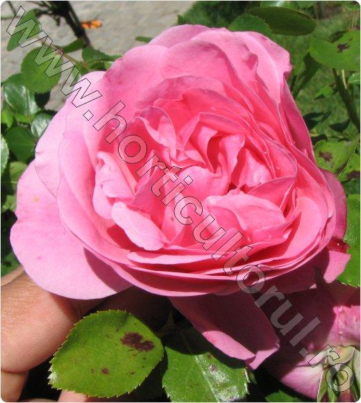 Trandafirul de Dulceata_de damasc_inmultire_recoltare petale