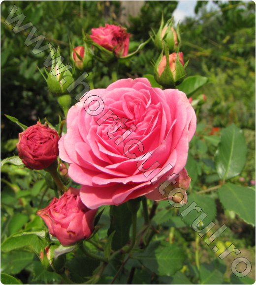 Trandafirul-pentru-Dulceata_Rosa-centifolia-Cabbage-rose_inmultire_recoltare-petale.jpg
