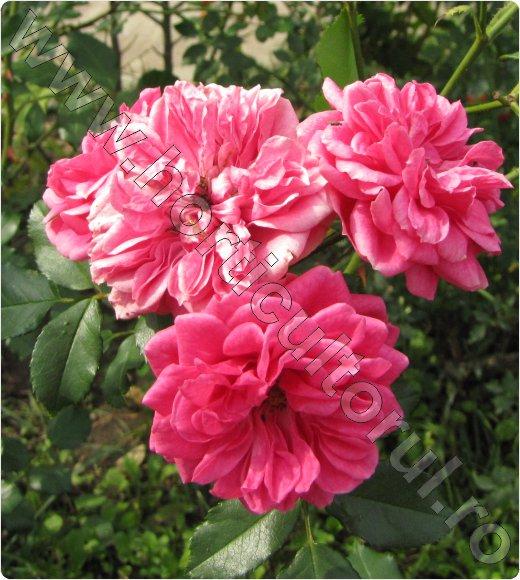 Trandafirul-pentru-Dulceata_Rosa-centifolia-Cabbage-rose_inmultire_recoltare-petale_2