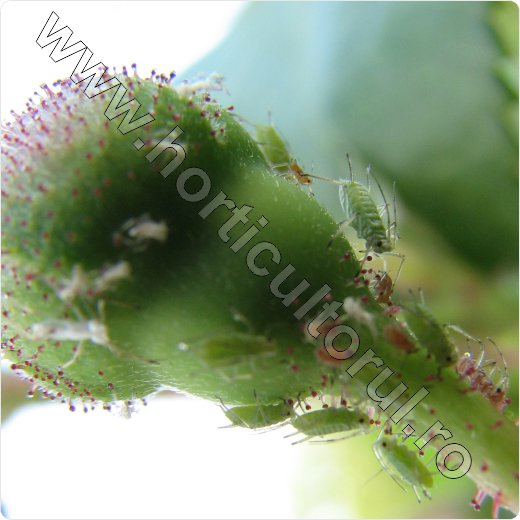 afide-paduchi verzi trandafiri_rose aphid_macrosiphum rosae