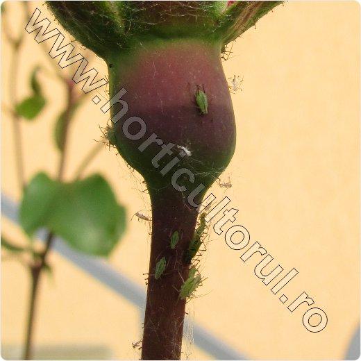 afide-paduchie trandafir_tratament_5