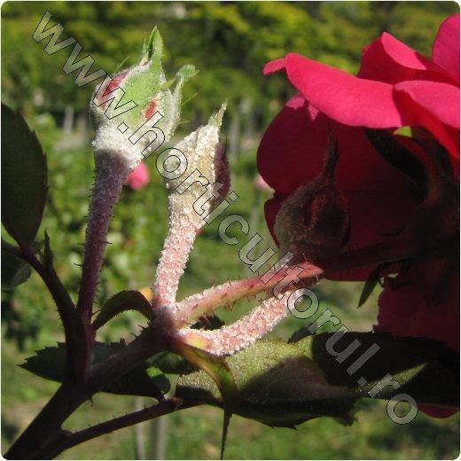 fainarea_trandafirului_floare si boboc_7