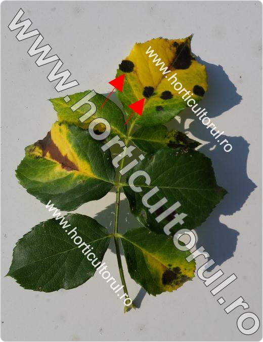 Fig. 4 Patarea neagra la trandafiri (Diplocarpon rosae)