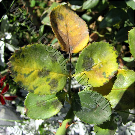Fig. 1 Patarea neagra la trandafiri (Diplocarpon rosae)
