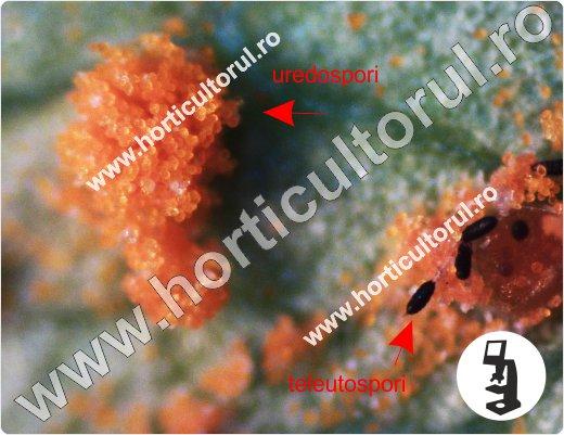 Fig. 5 Rugina trandafirului (Phragmidium mucronatum),