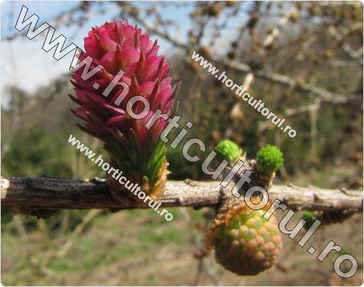 Fig. 7   Larice, Zada (Larix decidua),