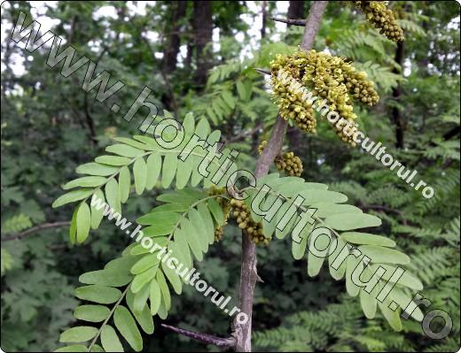 gladita-floare-placut mirositoare
