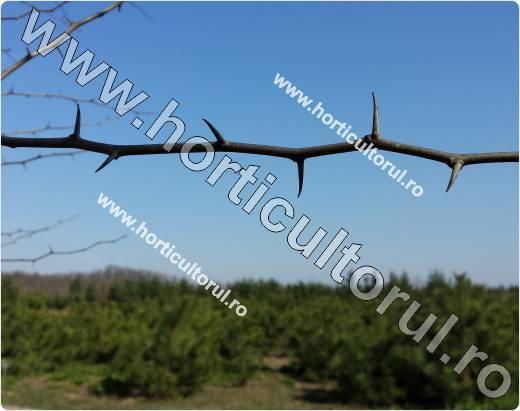 Fig. 6 Maclura (Maclura aurantiaca)