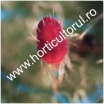 Paianjenul-acarianul-rosu-Panonychus-ulmi_150