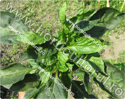 Piticirea si indesirea ardeiului (Cucumber mosaic virus in peppers -CMV)