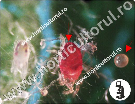 Fig. 5 Acarianul rosu (Panonychus ulmi)