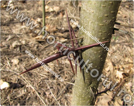 Fig. 4  Gladita (Gleditsia triacanthos), spini