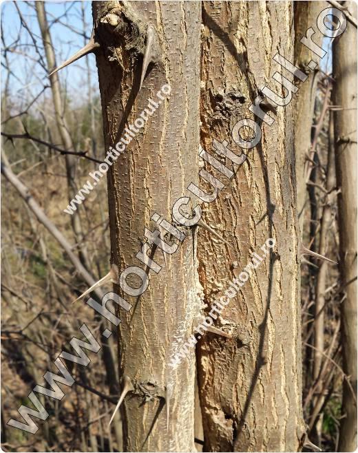 Fig. 6  Salcamul ornamental (Robinia pseudacacia)